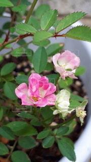 花,屋外,ピンク,緑,バラ,花びら,薔薇,草木,ミニバラ,フローラ,常緑のバラ
