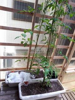 猫,窓,テラス,昼寝,トマト,ペット,植木鉢,ポーチ,草木,ガーデン