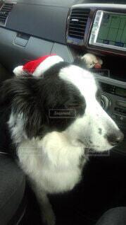 犬,動物,屋内,白,座る,クリスマス,ボーダーコリー,探す