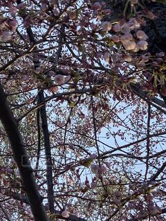 空,桜,屋外,葉,樹木,草木