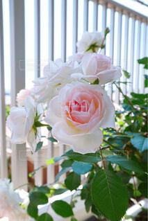 花,花束,バラ,薔薇,ピンクの花,草木,可憐な花,イングリッシュローズ,オリビアローズオースチン