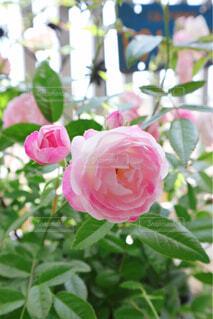 花,花束,バラ,花びら,薔薇,ピンクの花,草木,ミニ薔薇,フロリバンダ,ハイブリッドティーローズ