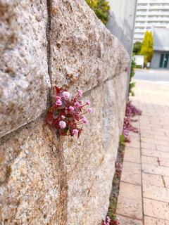 花,屋外,散歩,壁,歩道,草木,ヒメツルソバ,ポリゴナム,壁の隙間