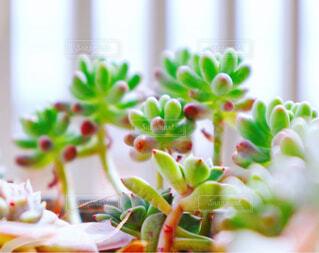 食べ物,花,屋内,窓,可愛い,多肉植物,草木,乙女心