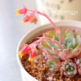 食べ物,花,ピンクの花,多肉植物,ボウル