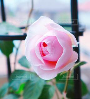 花,屋内,バラ,薔薇,テーブル,草木,ピンクの薔薇,オリビアローズオースチン