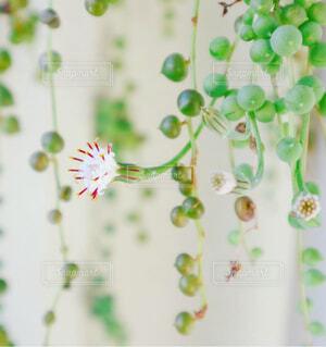花,白い花,多肉植物,草木,グリーンネックレス