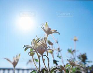 空,花,屋外,太陽,青空,白い花,陽射し,夏空,草木,フランネルフラワー
