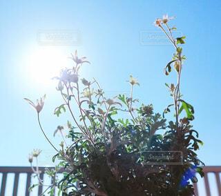 空,花,太陽,青空,白い花,陽射し,草木,フランネルフラワー