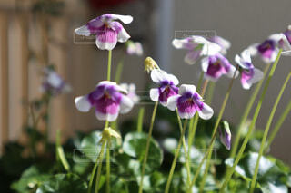 花,屋内,紫の花,蘭,草木,ブルーム,可憐な花,フローラ,パンダスミレ