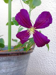 花,紫の花,鉢植え,クレマチス,草木,フローラ