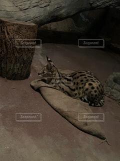 猫,動物,動物園,チーター,ヒョウ,ジャガー,ネコ科,タイガー,サーバルキャット,ワイルドキャット
