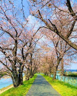 空,公園,花,春,桜,屋外,ピンク,緑,青,川,桜並木,景色,草,背景,樹木,川沿い,草木,ブロッサム