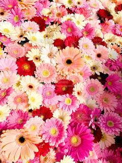 花,ピンク,フラワー,背景,カラー,草木,ガーベラ,ブロッサム,インスタ映え