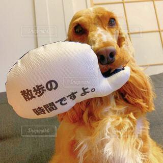 犬,動物,屋内,かわいい,ふわふわ,ぬいぐるみ,おもちゃ,子犬,コッカー,おねだり,イングリッシュコッカースパニエル,もふもふ,インギー