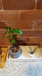 キッチン,癒し,観葉植物,エアープランツ,ほっと一息,コーヒーの木