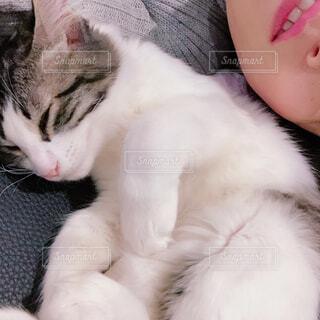 猫,動物,屋内,白,かわいい,寝る,子猫,人,添い寝