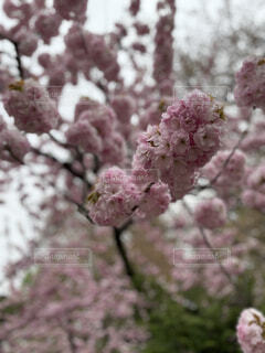 花,樹木,ライラック,草木,桜の花,ブルーム,ブロッサム