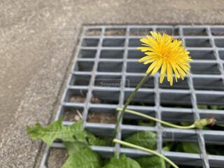 花,黄色,可愛い,たんぽぽ,野草,生命力,草木,強い,タンポポ,野花