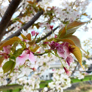 花,春,桜,屋外,ピンク,綺麗,葉っぱ,葉,景色,樹木,可愛い,草木,新芽,桜の花,さくら,ブルーム,ブロッサム