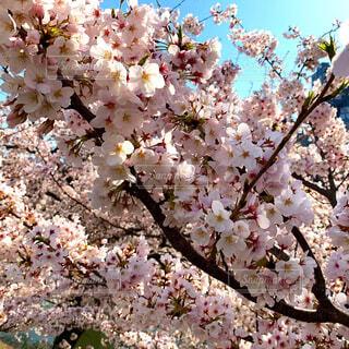花,春,桜,ピンク,綺麗,青空,晴天,景色,満開,樹木,可愛い,草木,桜の花,さくら,ブルーム,ブロッサム,満開の桜