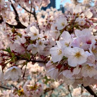 花,春,桜,ピンク,綺麗,景色,満開,可愛い,草木,桜の花,さくら,ブルーム,ブロッサム,満開の桜