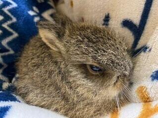 動物,屋内,毛布,こたつ,ウサギ,野うさぎ,子うさぎ