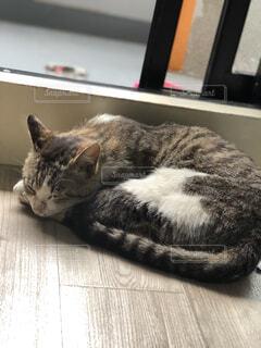 猫,動物,屋内,景色,寝転ぶ,寝る,子猫,ネコ科