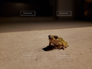 夜のカエルの写真・画像素材[4491006]