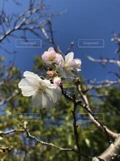 空,花,春,屋外,白,樹木,草木,桜の花,ブルーム,ブロッサム
