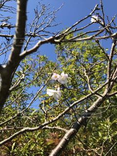 空,花,春,木,屋外,枝,青い空,樹木,草木,ブロッサム