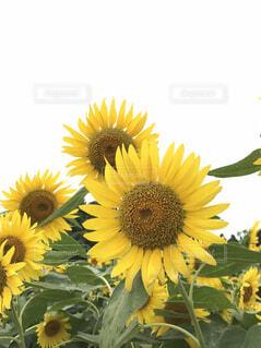 風景,花,ひまわり,黄色,曇り空,夏休み,バカンス,草木,ブロッサム