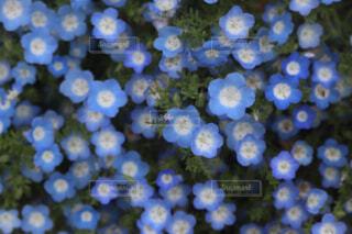 自然,花,春,花畑,水色,お花,ネモフィラ,一面,ワスレナグサ,草木,ブルーム,フローラ