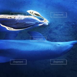 動物,魚,屋外,イルカ,水族館,水面,泳ぐ,水中,旅行,旅,ブルー,ハワイ,ハワイ島,海獣,フィン,ドルフィン
