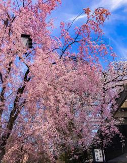 ピンクの花の木の写真・画像素材[1122425]