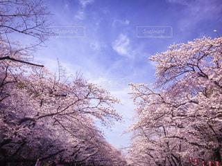 桜,青空,桜並木,お花見,お散歩