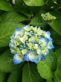 自然,風景,花,雨,緑,白,青,葉,水色,景色,ガーデニング,紫陽花,花壇,たくさん,蕾,明るい,梅雨,草木,ガーデン,フローラ