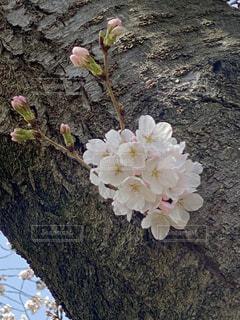 自然,風景,春,桜,屋外,白,日光,景色,花びら,樹木,暖かい,蕾,明るい,コサージュ,幹,草木,木肌,ブロッサム,かたまり,フローラ