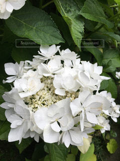 自然,風景,花,雨,屋外,緑,白,葉,花嫁,日光,景色,花びら,ガーデニング,紫陽花,花壇,明るい,梅雨,草木,自宅,ジューンブライド,がく紫陽花,フローラ