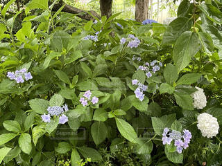 紫陽花、出番ですよー!の写真・画像素材[4557638]