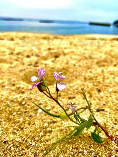 自然,海,花,屋外,植物,綺麗,砂浜,海辺,紫,爽やか,一輪の花,可愛い,ドライブ,潮風