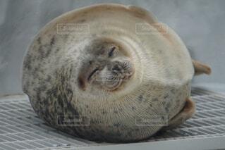 屋内,水族館,寝てる,まんまる,アザラシ,海獣,笑ってる
