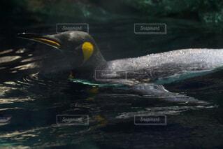 動物,水族館,水面,ペンギン,泳ぐ