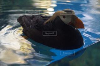 動物,鳥,水面,泳ぐ,鴨,水の鳥
