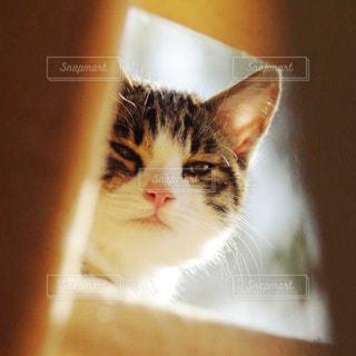 猫の写真・画像素材[241771]