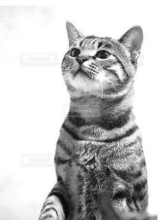 カメラを見ている猫の写真・画像素材[849106]