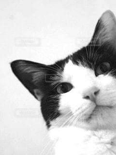 猫の黒と白の写真の写真・画像素材[849174]