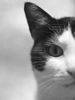 カメラを見ている猫の写真・画像素材[851575]