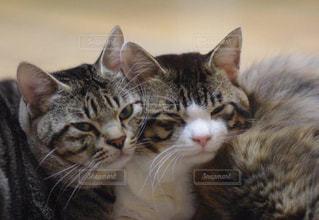 その口を開いて猫の写真・画像素材[871423]