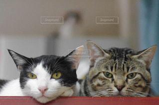 カメラを見ている猫の写真・画像素材[991237]